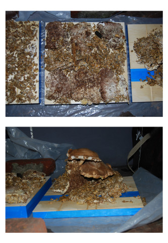 Shiitake mushroom mycelium was allowed to colonize the wood panel for six months.